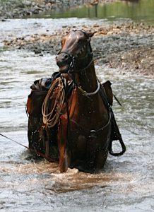 horses ears