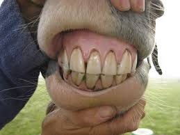 horse incisors