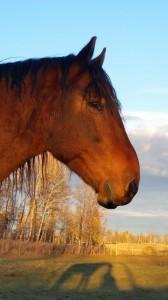 wild horse companion
